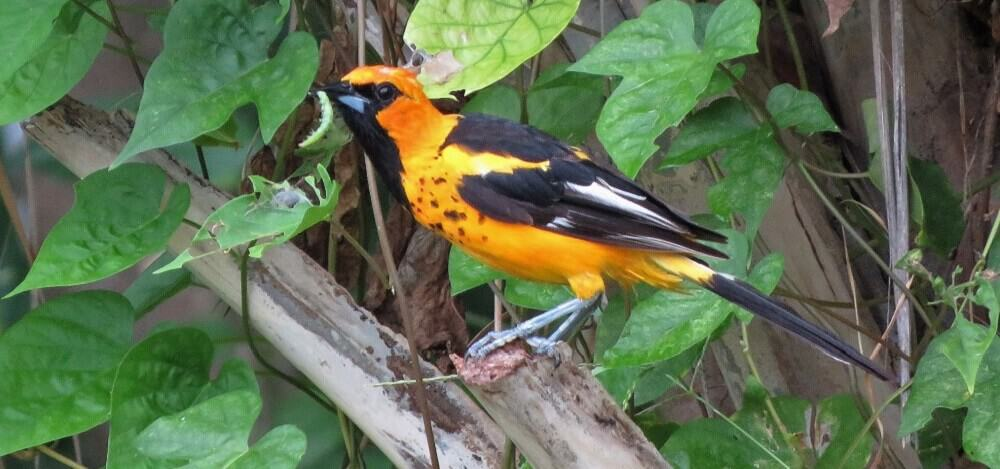 How to place oriole bird feeders (1)