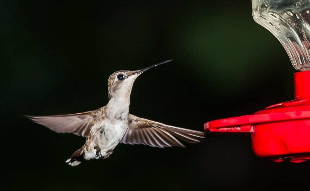 Hummingbirds are attracted to the color red (1)