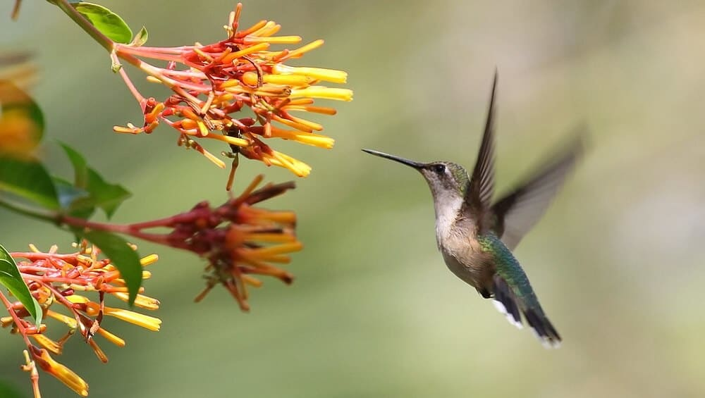 Hummingbirds love long flowers with red (1)