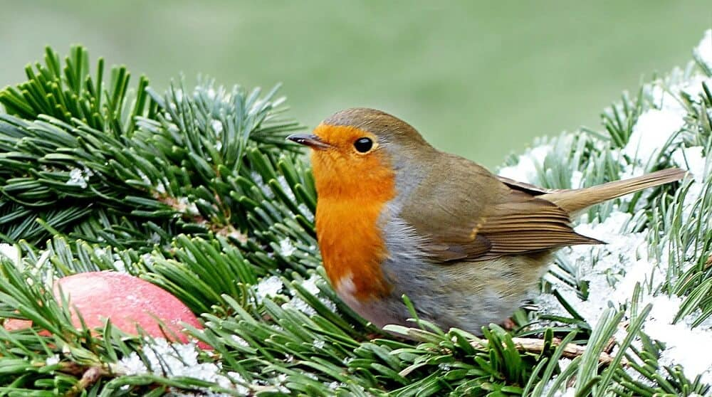 Many robins stay all year round (1)