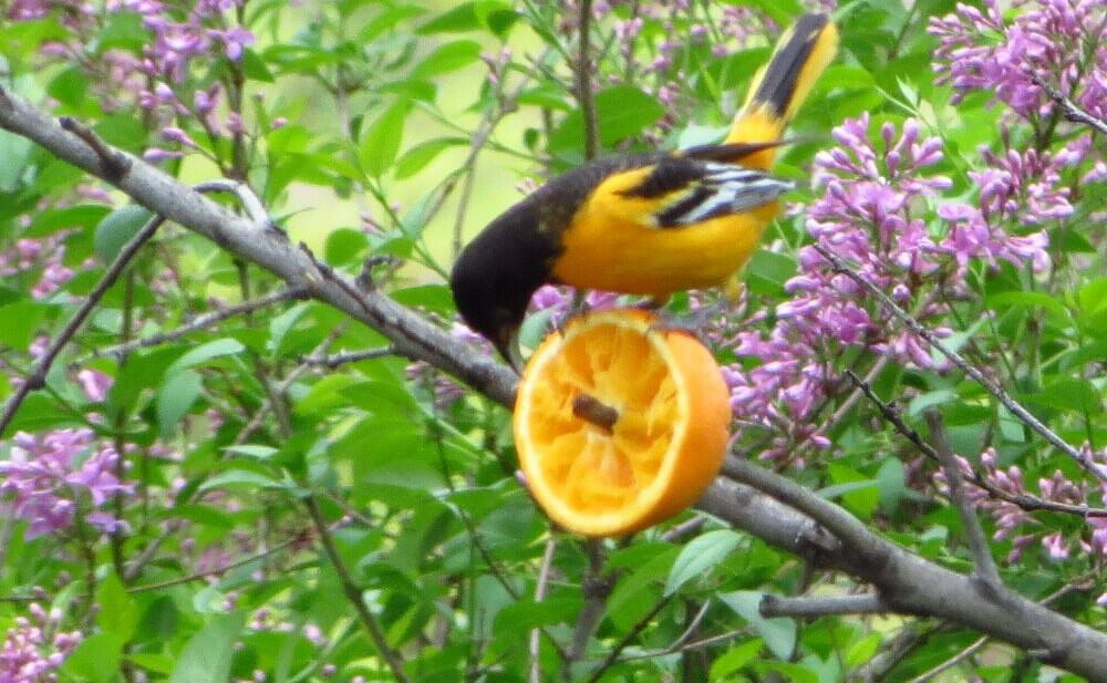 Orioles like to eat high in tree tops (1)