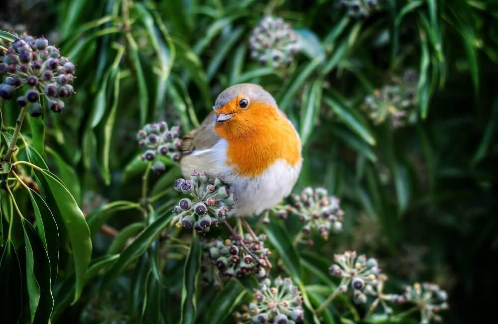 Robins love evergreens (1)