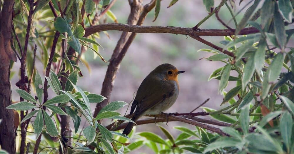 The right plants attract robins (1)