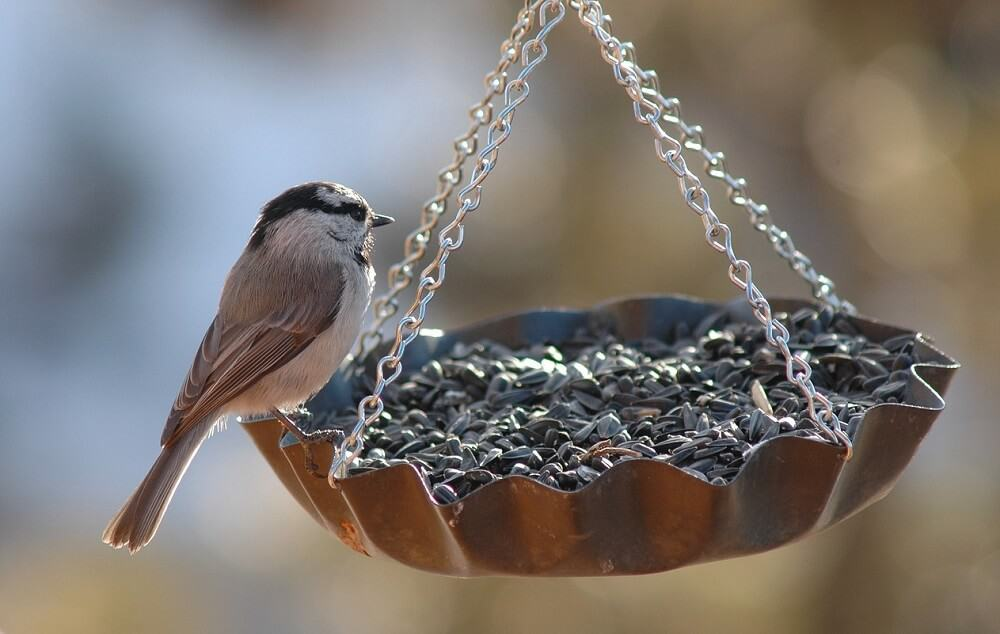 Use Nyjer seed to attract finches (1)