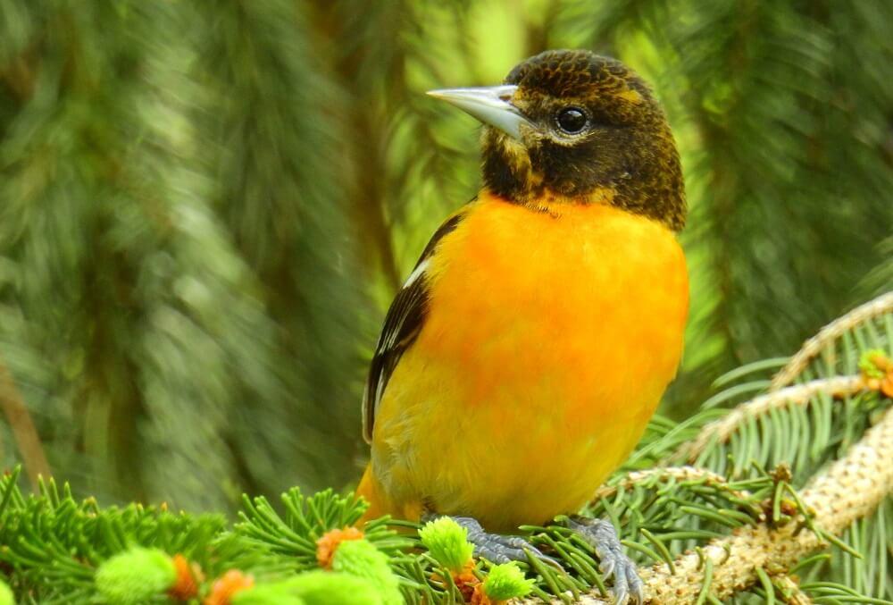 Where to hang oriole bird feeders (1)