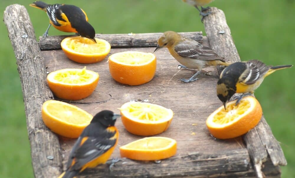 Where to place Oriole Bird Feeders