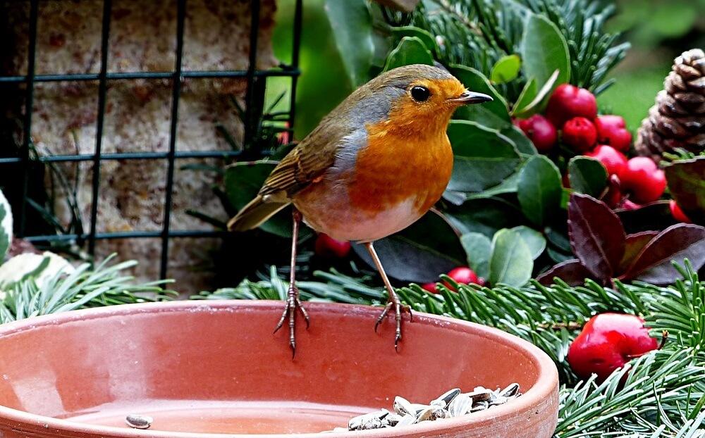 Where to place robin birdfeeders (1)
