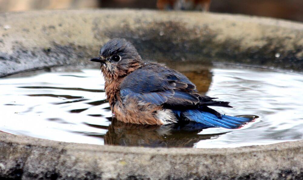 bluebirds love water baths (1)
