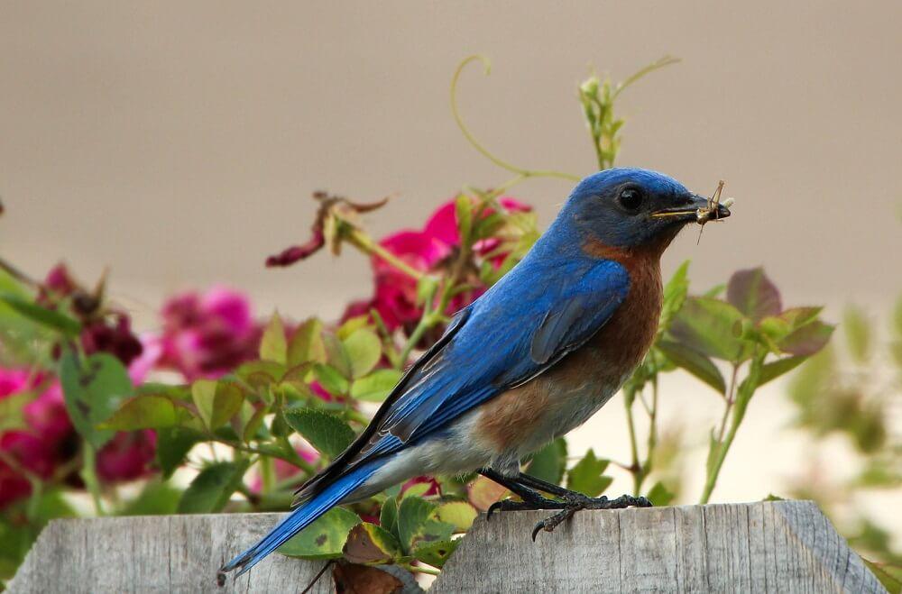 bluebirds need mealworms (1)