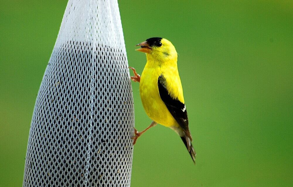 where to hang finch feeders (1)