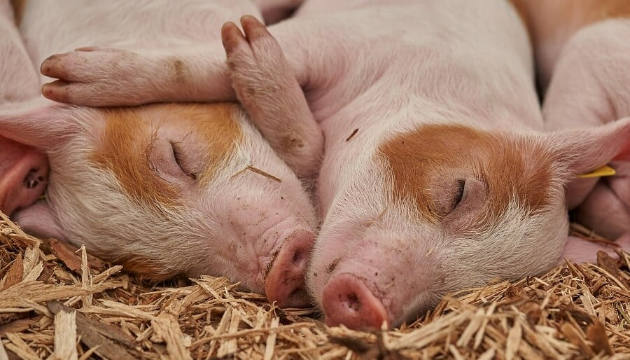 Are pigs toxic to eat (1)