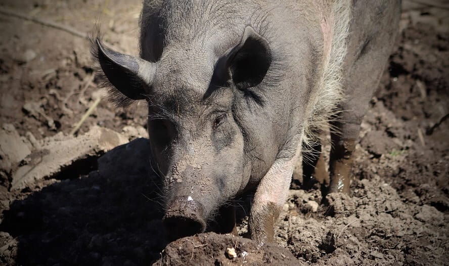 Do pigs sweat why are they muddy (1)