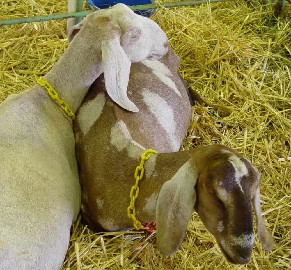 Goats itch less if they have companionship (1)