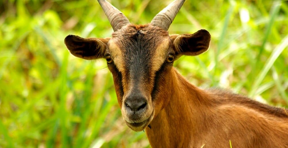 why do goats itch (1)