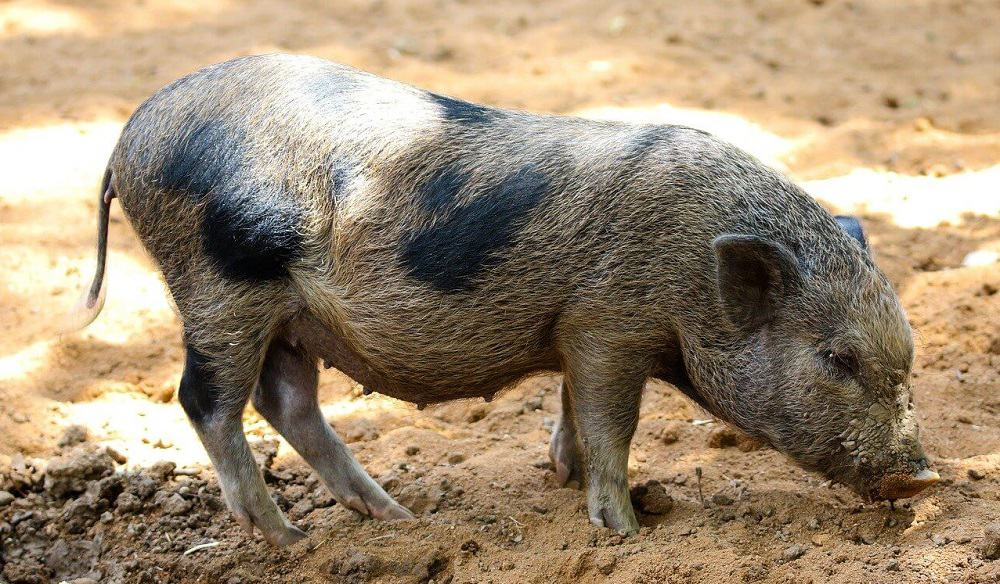 A few breeds of domestic pigs have straight tails (1)