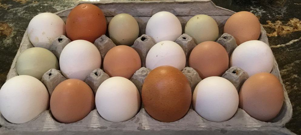 A varied flock produces many eggs a day (1)
