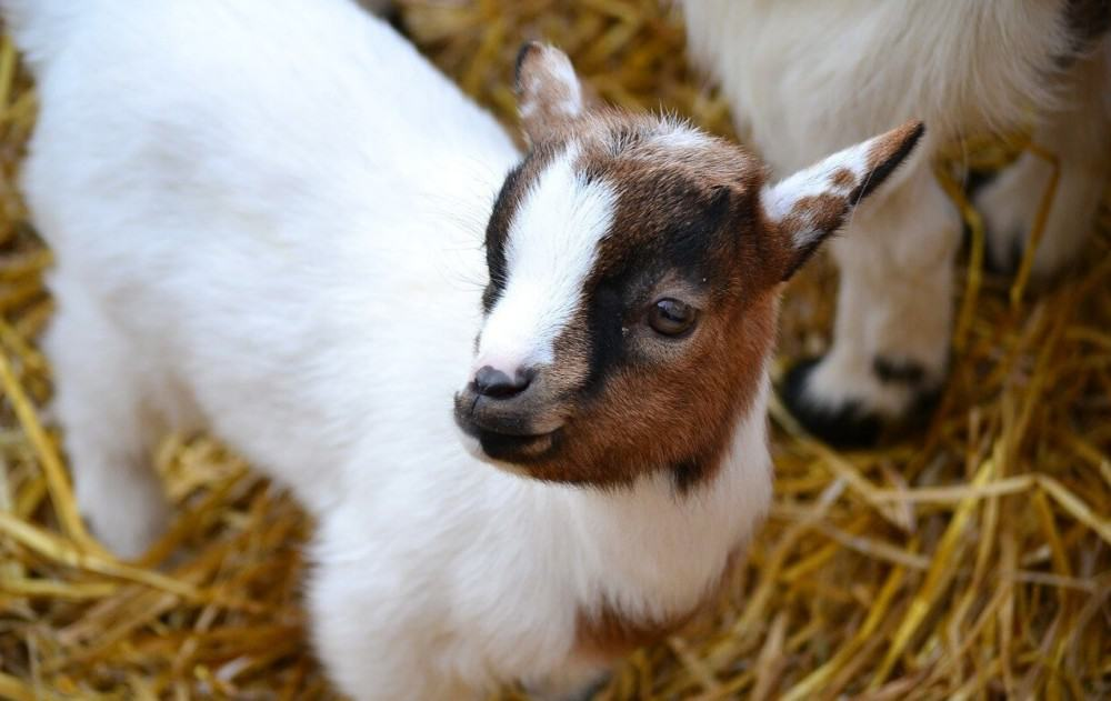 Baby goats die for a number of reasons