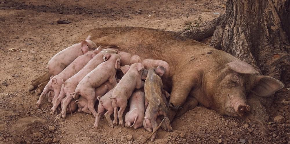 Baby pigs can have trouble adjusting to food
