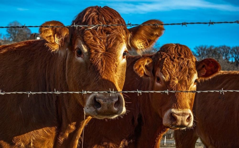 Barbed wire is effective to keep cows