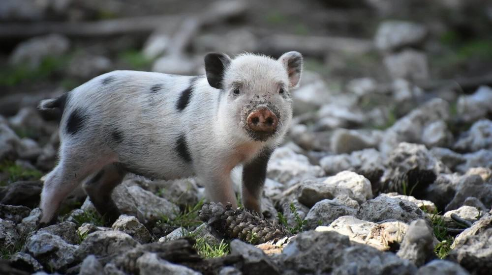 Change pigs environment to help them start eating again