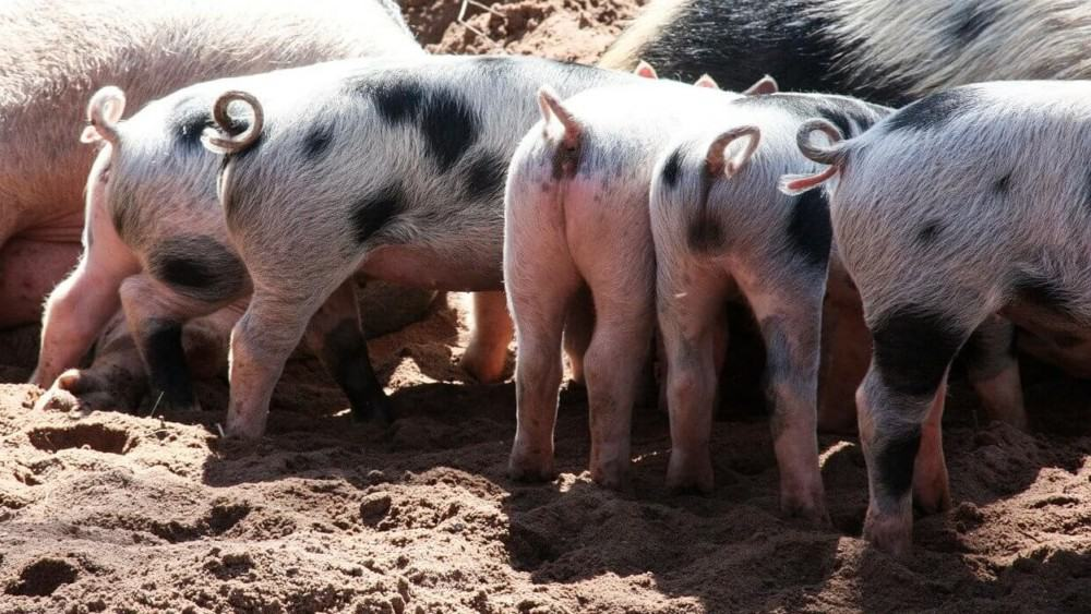 Domestic pigs thought to originate from China have curly tails (1)