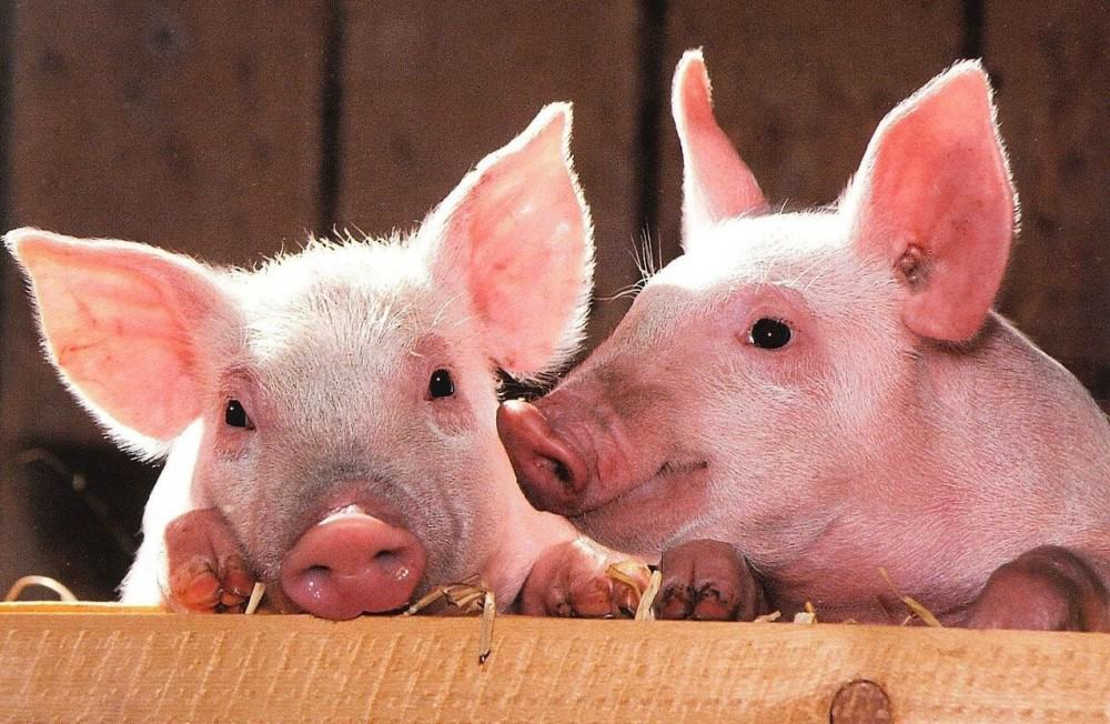 Get pigs to eat again