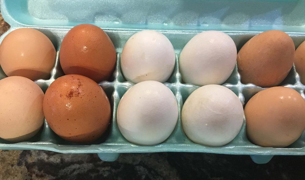 Get your hens consistently laying eggs (1)