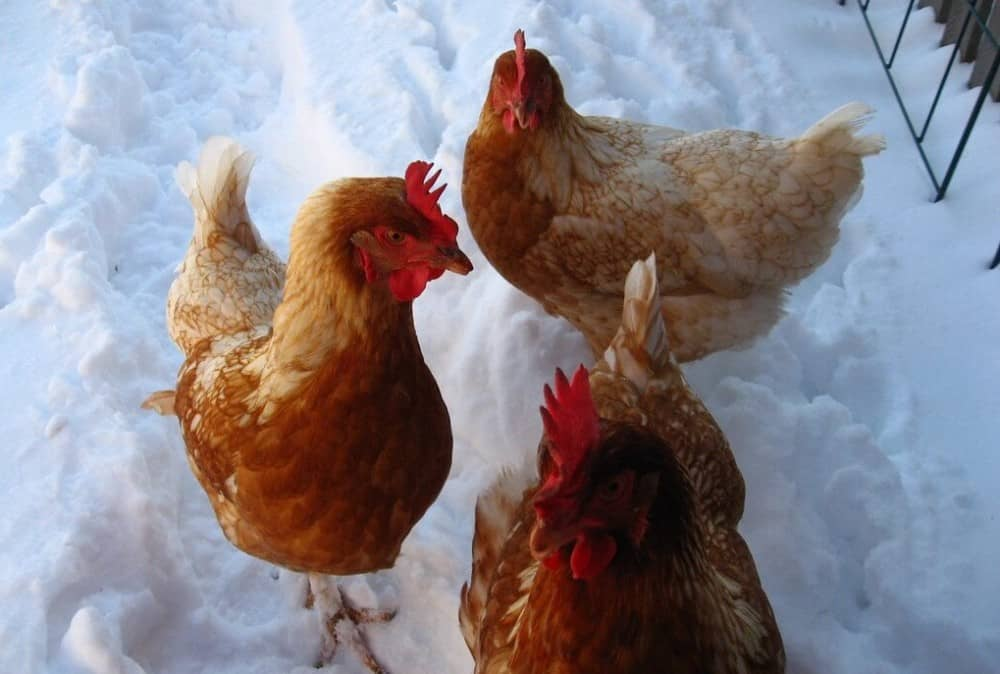 How to keep hens laying eggs in the winter (1)