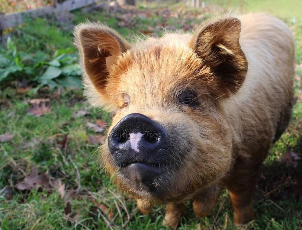 Kunekune pigs are often sold as teacup pigs (1)