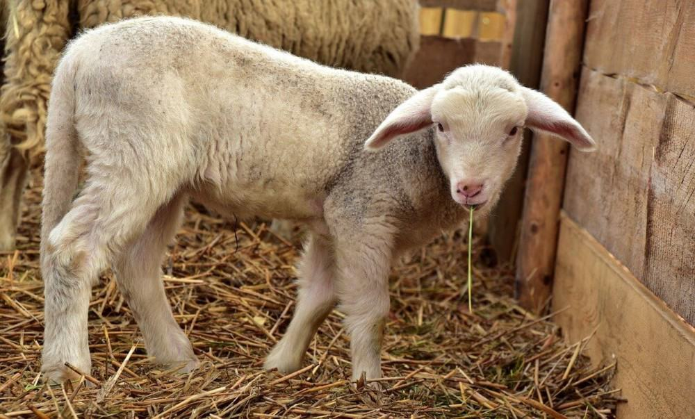 Lambs will bond better with owners than grown sheep