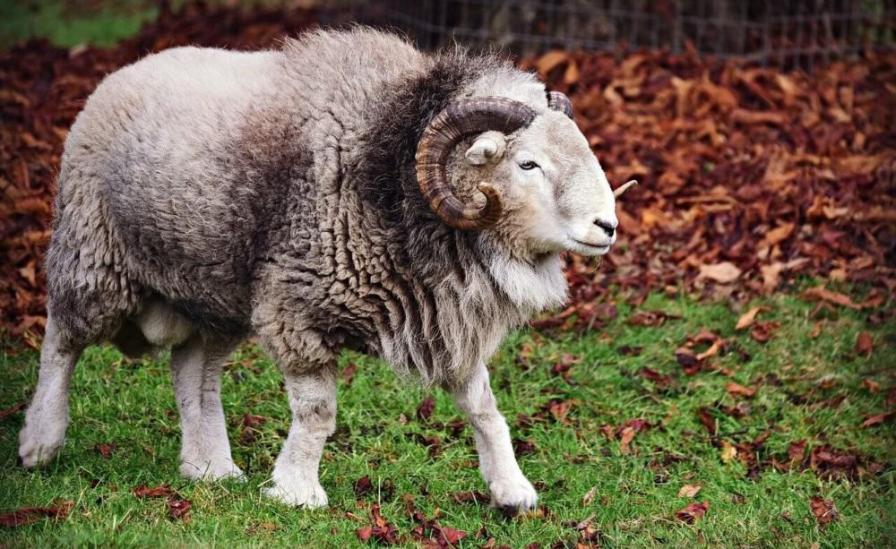 Many breeds of sheep have large horns