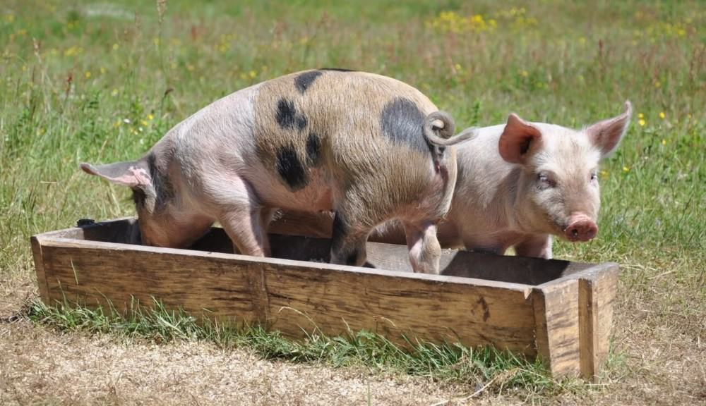 Not all pigs have curly tails (1)