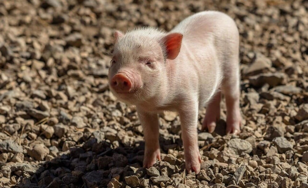 Piglets are most easily trained as pets (1)