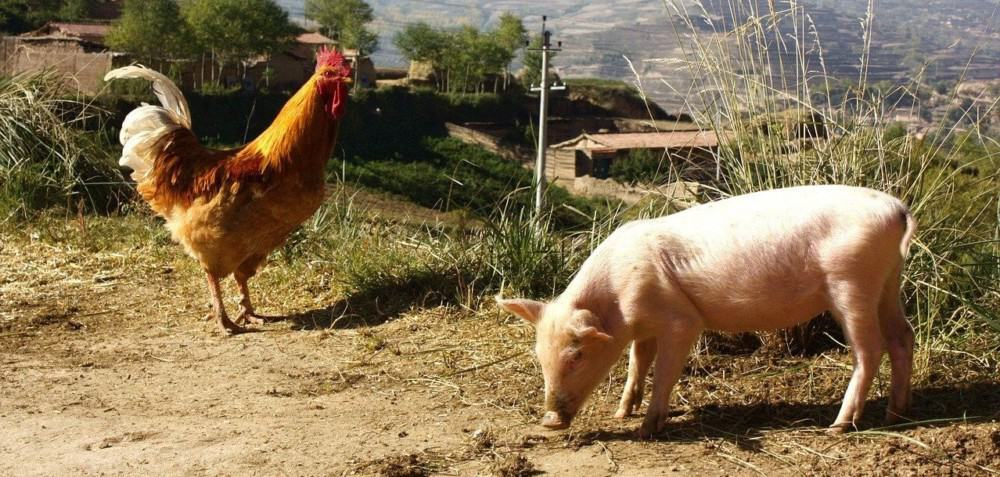 Pigs need pleanty of space to house with chickens (1)