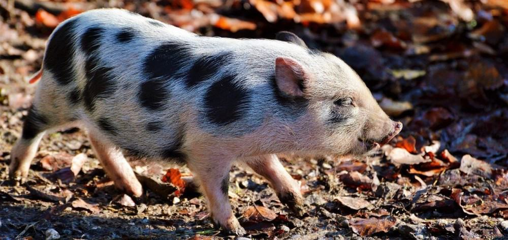 Pot Bellied pigs are one of the smallest pig breeds (1)