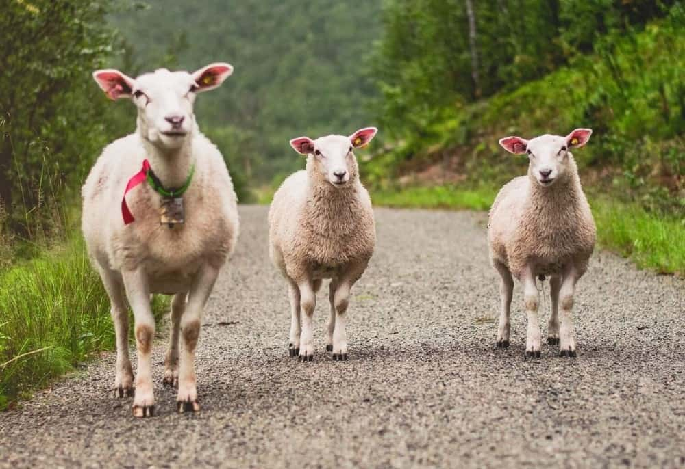 Sheep are happiest with 3 or more