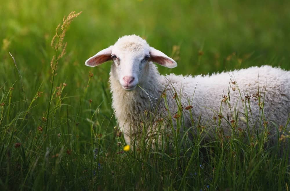 Sheep are happiest with grass and clover to eat