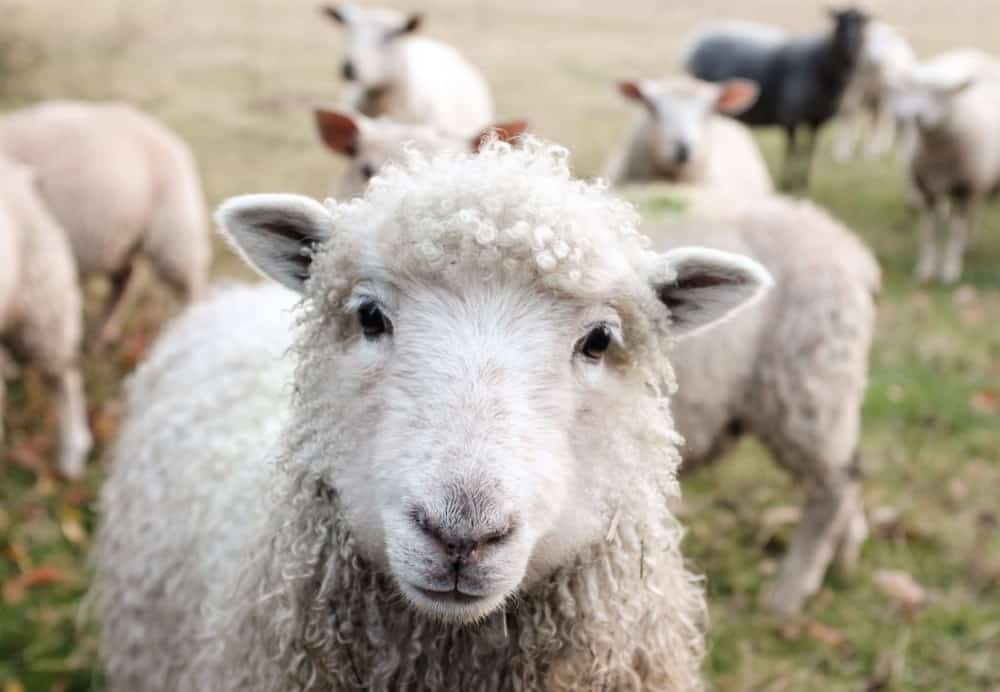 Sheep make great pets for kids