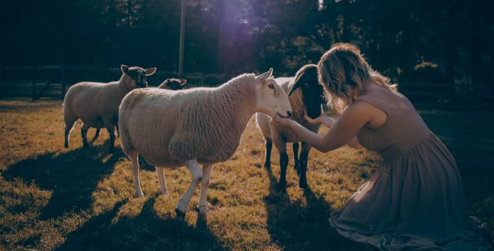 Sheep make great pets