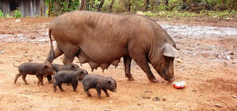 Some domestic pigs have straight tails (1)