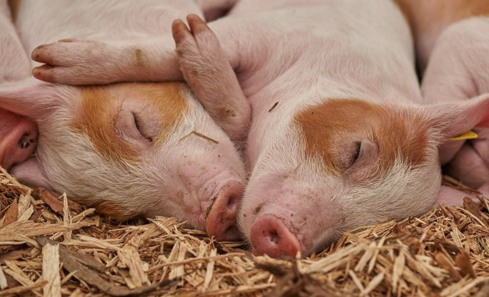 Too little water can cause pigs to become lethargic