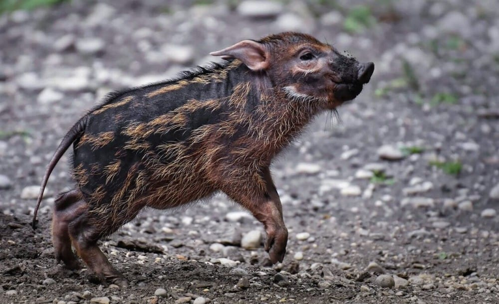 Wild Pigs don't have curly tails. This is a brush ear pig, a wild boar (1)