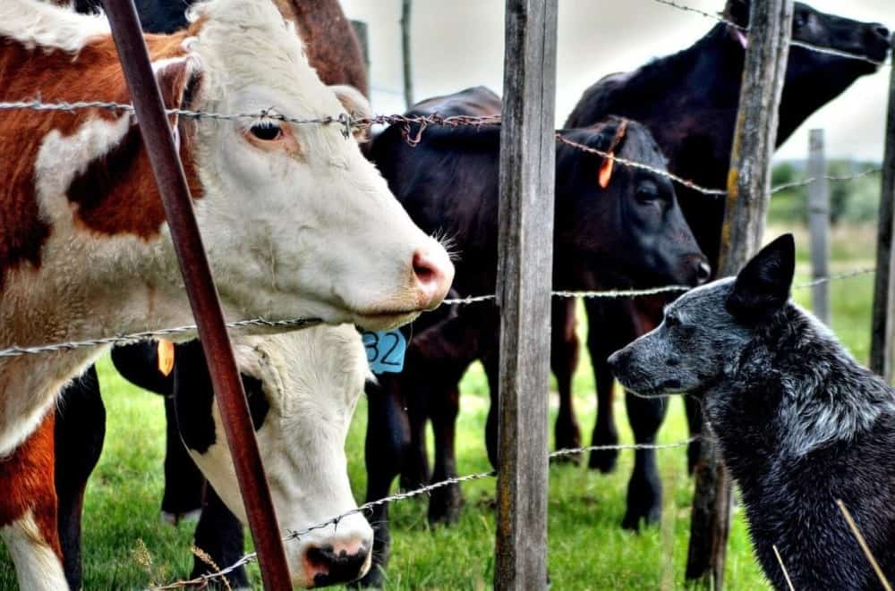 a cattle dog can help to guard dogs