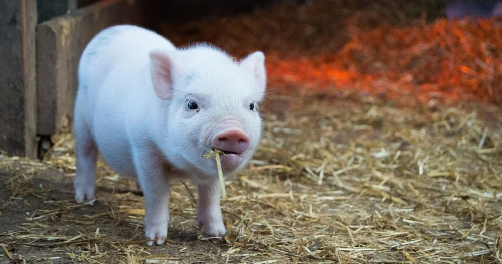 a pig can breed as soon as 6 months old (1)