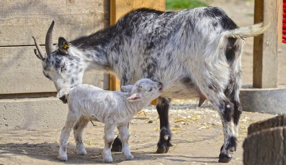 baby goats can have a mineral deficiency if their mamas are missing minerals