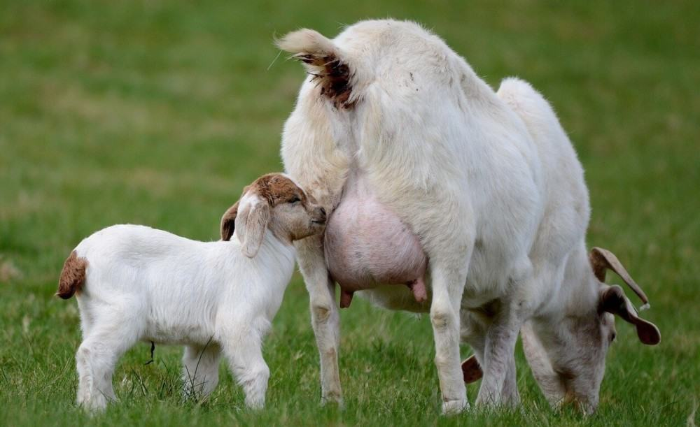 baby goats need minerals and vitamins to be healthy
