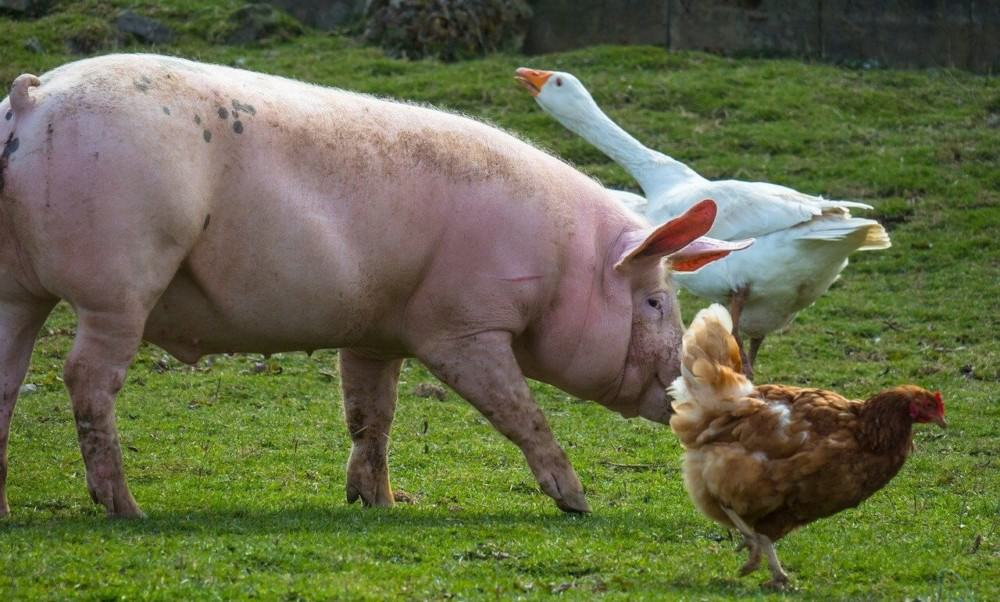 benefits of housing pigs and chickens together (1)