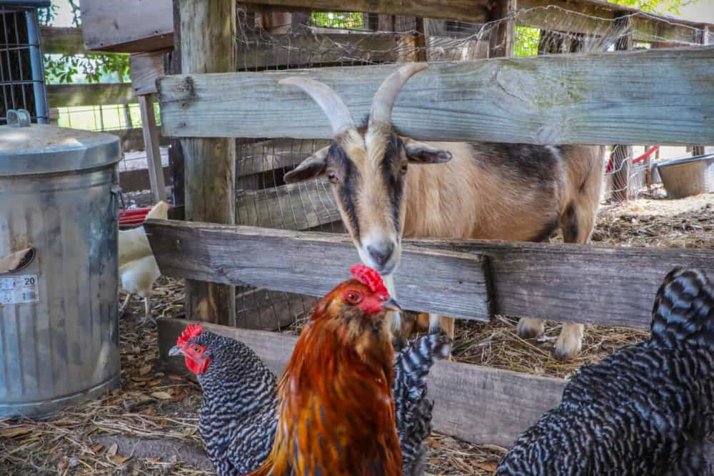 best ways to house goats and chickens together