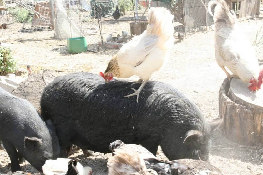chickens can provide benefits for pigs (1)