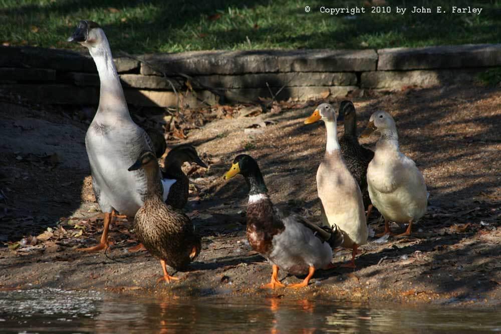 duckgoose possible crossbreeds (1)